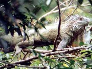 Iguana image in the forest - Nicaragua
