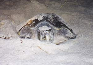 Sea turtle in La Flor beach